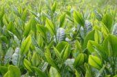 Çay Yetiştiriciliği ve Üretimi
