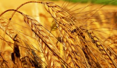 Buğday Yetiştiriciliği ve Üretimi