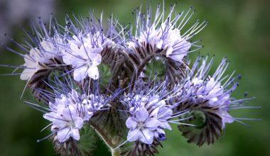Arı Otu Yetiştiriciliği ve Üretimi