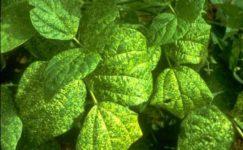 Fasulye Sarı Mozaik Virüsü