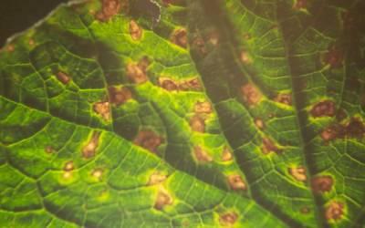 Hıyar Köşeli Yaprak Lekesi