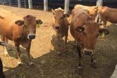 Güney Anadolu Kırmızısı / Kilis Sığırı