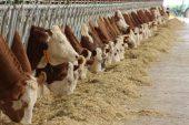 Simental Sığır Irkı ( Sarı Alaca ) Yetiştiriciliği