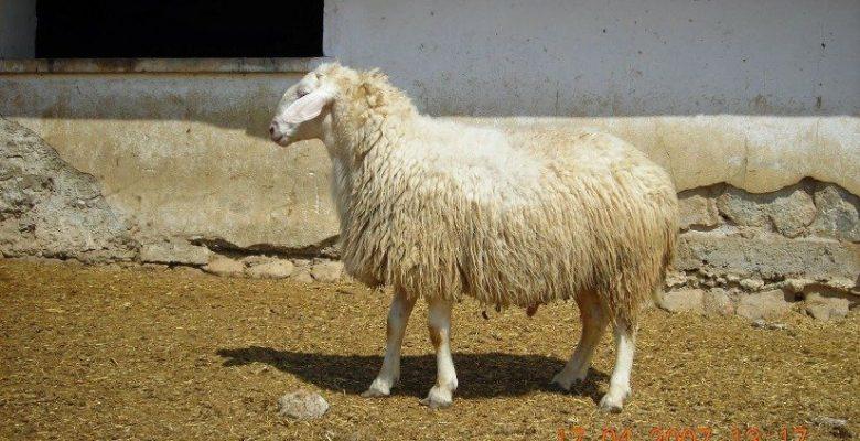 Acıpayam-Koyun-ırkı