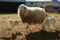 Acıpayam Koyunu, Özellikleri Ve Yetiştiriciliği
