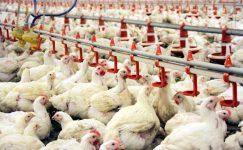 Tavuk Çiftliği Kurmak İsteyenlere Devlet Desteği