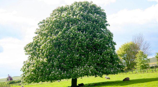 Kestane Ağacı
