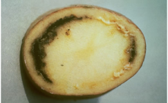 Patates Kahverengi Çürüklüğü ve Bakteriyel Solgunluk