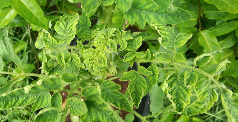 Domates Sarı Yaprak Kıvırcıklık Virüsü