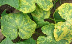 Kabak Mozaik Virüsü Hastalığı