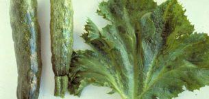 Kabak Sarı Mozaik Virüsü Hastalığı