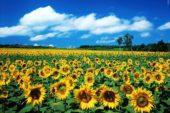 Ayçiçeği Yetiştiriciliği ve Üretimi