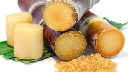 Şeker Kamışı Yetiştiriciliği ve Üretimi