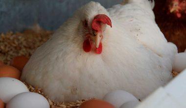 Yumurta Tavukçuluğu Yetiştirme Teknikleri