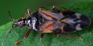 Anthocoris nemoralis