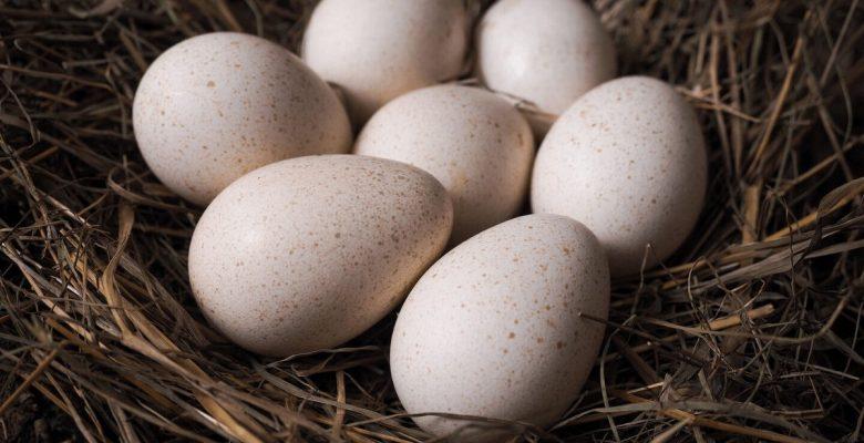 Hindi Yetiştiriciliğinde Kuluçkalık Yumurta Seçimi