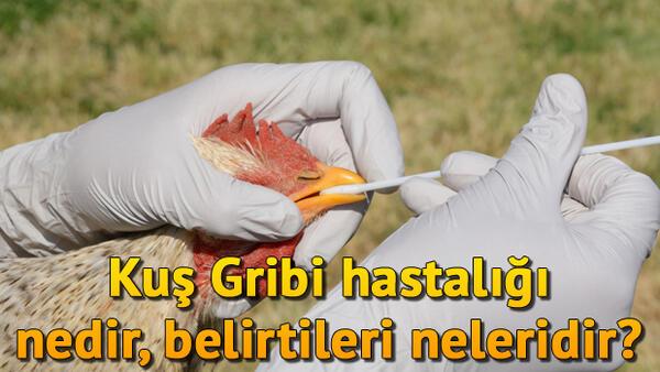 Tavuk Vebası