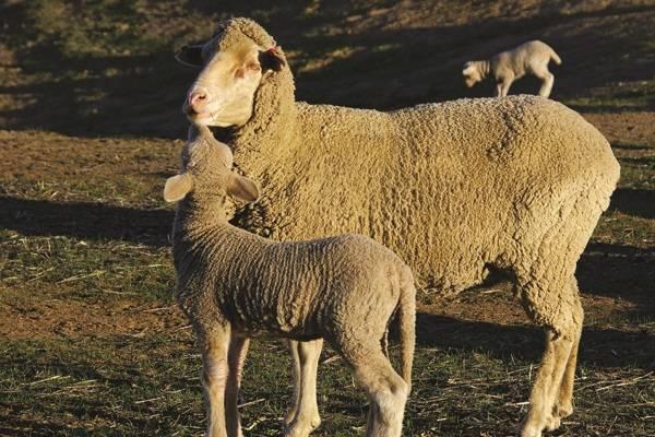 Koyun ve kuzu