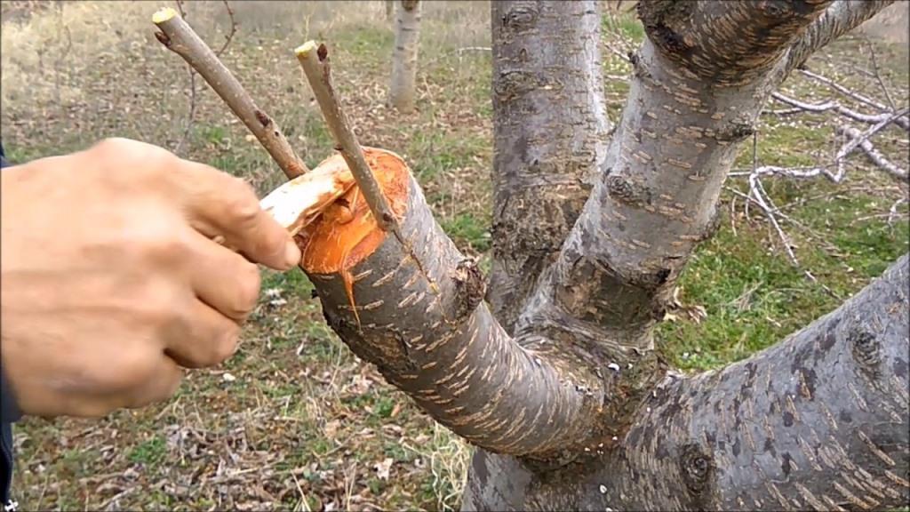 Meyve Ağaçlarında Uygulanan Aşı Çeşitleri