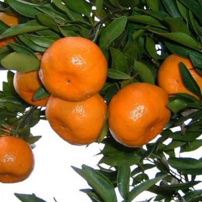 Ponkan mandarin