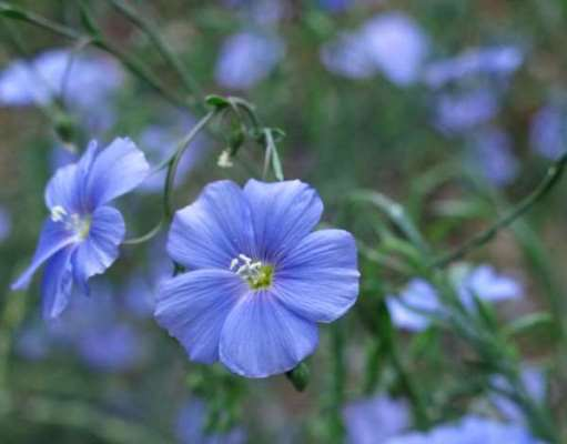 Keten çiçeği