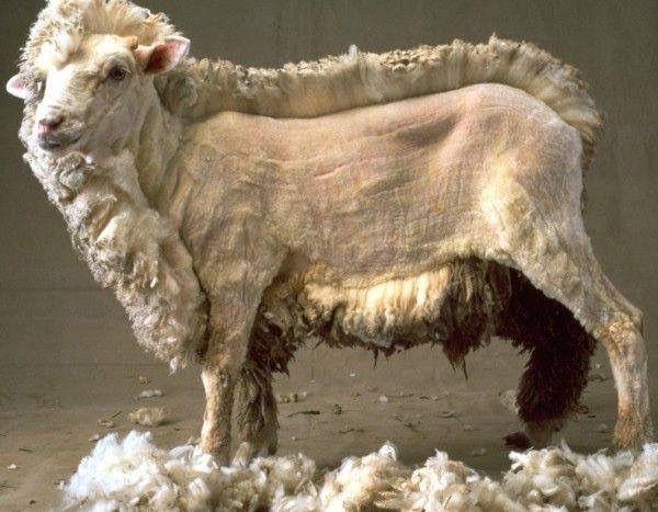 Koyun-kırkımı