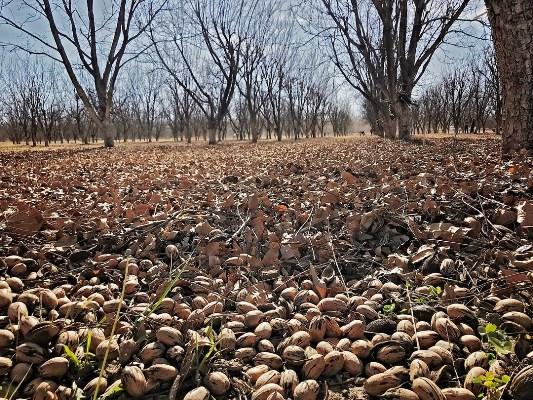 Pikan cevizi hasadı
