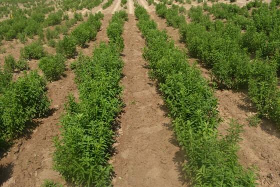 Stevia Yetiştiriciliği