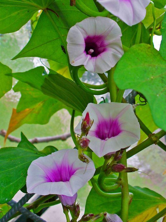 Tatlı patates çiçeği