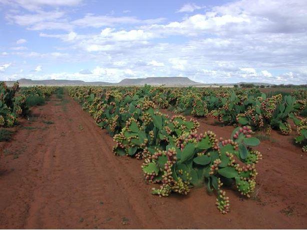 Hint inciri yetiştiriciliği