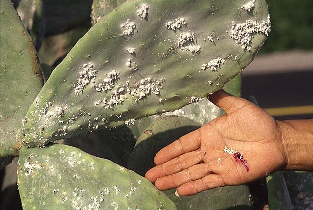 Kaktüs Koşnili Dactylopius coccus