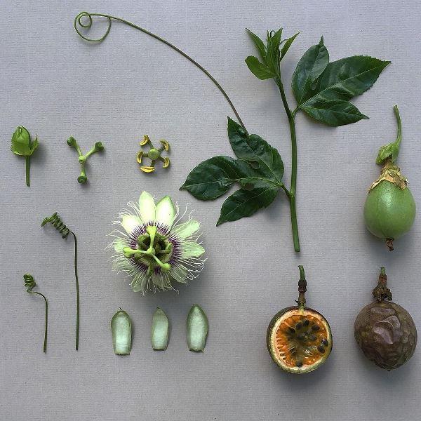 Pasiflora eduis