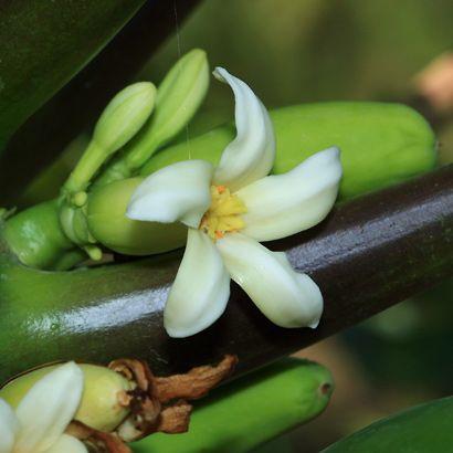 Papaya çiçeği