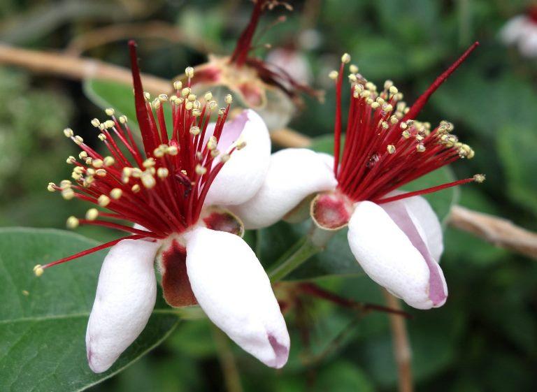 FEIJOA çiçekleri