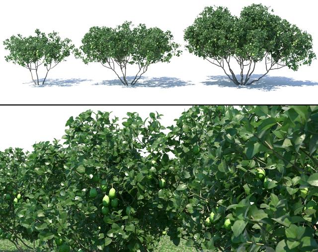 Feijoa ağacı