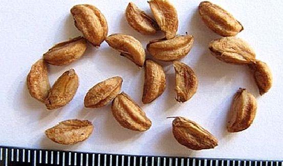 Alıç tohumları