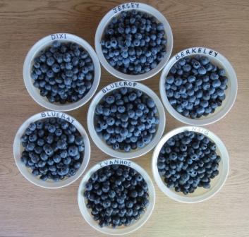 Blueberry çeşitleri