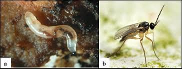 Lycoriella solani ve larvası