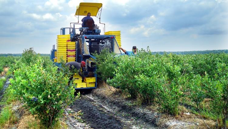Maviyemiş hasat makinesi