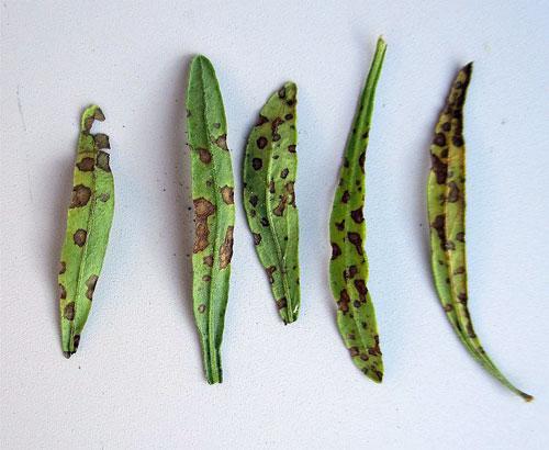 Septoria lavandulae