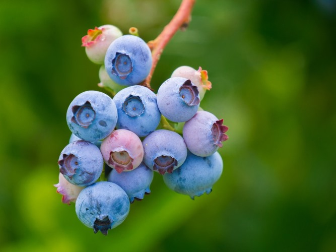 blueberry-kurusu