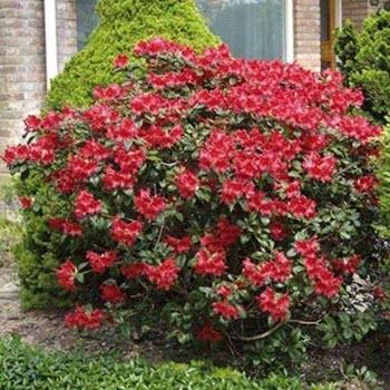 Açelya (Rhododendron indicum)