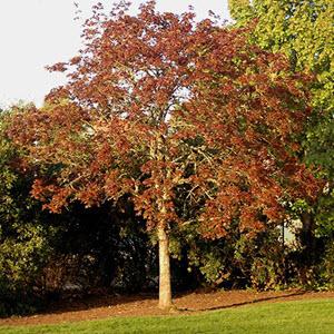 Akçaağaç (Acer sp.)