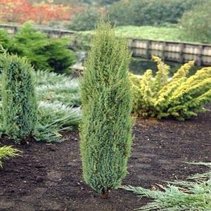 Ardıç (Juniperus communis)
