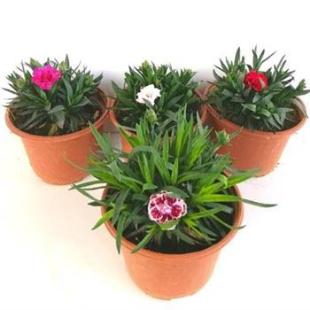 Bahçe Karanfili (Dianthus caryophyllus)