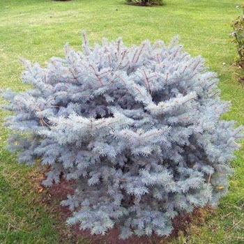 Bodur Mavi Ladin (Picea pungens 'Glauca Globosa')