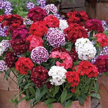 Hüsnüyusuf (Dianthus barbatus)