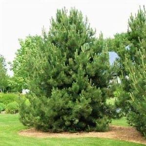 Karaçam (Pinus nigra)