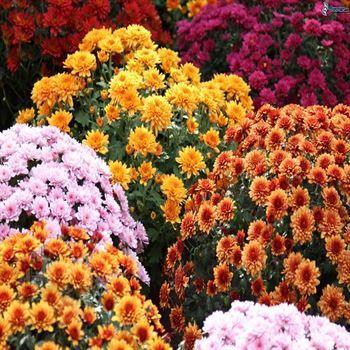 Kasımpatı (Chrysanthemum indicum)
