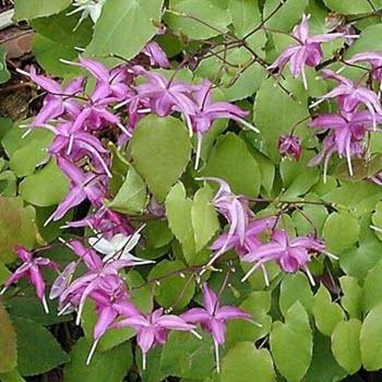 Keşişkülahı (Epimedium brevicornum)